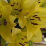 The beautiful yellow canary